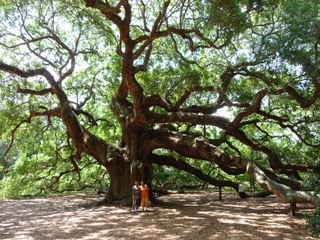 A mighty old tree...(Charleston Gullah)